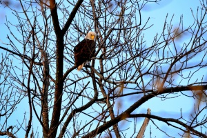 Eagle in our backyard