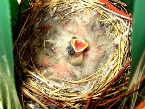 Baby Birds Hatching